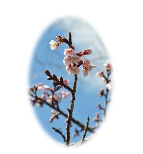 天竜村で桜の開花