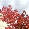 街路樹の紅葉が美しく、通りがかりにパチリ。