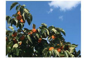 南信州の青空と柿 澄んだ空気